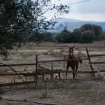 Cheval sarde